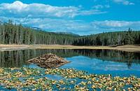 North American beaver, Canadian beaver Castor canadensis, beaver´s lodge in a lake, USA, Wyoming, Grand Teton NP