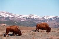 American bison, buffalo Bison bison, grazing, largest mammal of Amerika, USA, Wyoming, Yellowstone NP