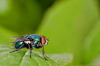 Green Bottle Fly (Lucilia caesar)