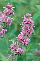 Lemon Mint, Prairie Bergamot, Lemon Beebalm, Lemon Horsemint, Plains Horsemint Monarda citriodora, inflorescence
