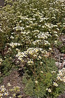 white mountain_saxifrage Saxifraga paniculata, blooming plants