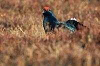 Black Grouse or Blackgame (Lyrurus tetrix or Tetrao tetrix), male or blackcock in a courtship display in a Swedish bog, Vaestergoetland, Sweden, Scand...