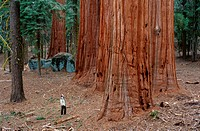 giant sequoia, giant redwood Sequoiadendron giganteum, group of tree trunks and man in compare, USA, California, Sequoia NP, Sierra Nevada