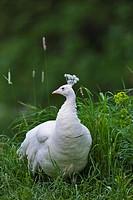 White peafowl (Pavo cristatus mut. Albacares), hen