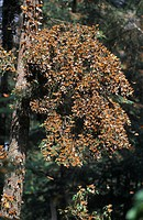 Monarch Butterflies (Danaus plexippus) covering a tree