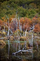 Dead trees in a lake in the Tierra del Fuego, Land of Fire, near Ushuaia city, Argentina, South America