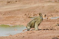 yellow baboon, savannah baboon Papio cynocephalus, drinking water from a puddle, Kenya, Amboseli NP