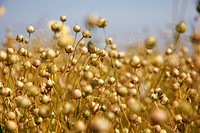 common flax Linum usitatissimum, flax field in summer, ripe fruits, France, Picardie