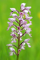 military orchid Orchis militaris, inflorescence, Germany, Kaiserstuhl