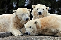 Three polar bears (Ursus maritimus)