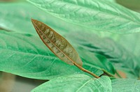 long pepper Piper longum, leaves