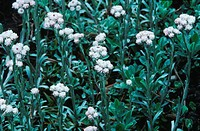 cat´s_foot, mountain everlasting Antennaria dioica, blooming
