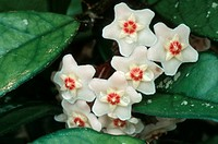 Wax Plant, Wax Flower, Porcelain Flower Hoya carnosa, flowers