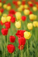 common garden tulip Tulipa gesneriana, tulip field