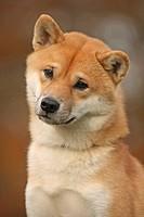Portrait of a Shiba Inu