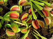 Venus flytrap Dionaea muscipula, leaves with traps