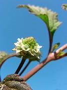 aztec sweet herb Lippia dulcis, Phyla scaberrima, inflorescence against blue sky