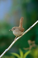 house wren Troglodytes aedon, sitting on a twig with prey in the beak, Chile