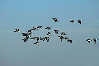 Barnacle Goose Branta leucopsis, flock of birds, flying