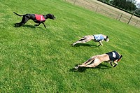 Whippet Canis lupus f. familiaris, during a race, Germany