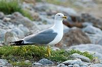 Caspian Gull (Larus cachinnans), Elba Island, Italy, Europe