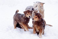 Greenland Dog Canis lupus f. familiaris, young dogs with her mother, Greenland