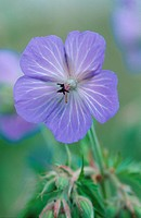 meadow cranesbill Geranium pratense, single flower