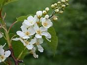 European bird cherry Prunus padus Padus avium, inflorescence