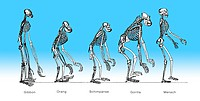 Comparison of the skeletons of a Gibbon, Orang, Gorilla and a man, anatomy, evolution of mankind, relation between mankind and ape, theorie of evoluti...