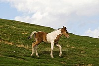 Foal at the Col d´Aubisque, Aquitaine, France, Europe