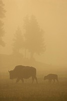 American bison, buffalo Bison bison, mother and calf wandering through meadow on misty dawn, USA