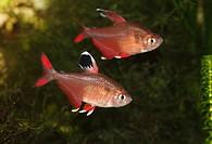 Black Flag Tetra (Hyphessobrycon rosaceus, Hyphessobrycon ornatus), White Fin, freshwater aquarium