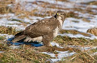 Common Buzzard Buteo buteo