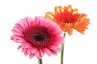 Barebeton Daisy, Gerbera, Transvaal Daisy, Gerbera Daisy Gerbera jamesonii, inflorescences