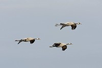 common crane Grus grus, flying, Sweden, Hornborgasjoen