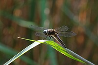 broad_bodied libellula, broad_bodied chaser Libellula depressa, male lying in ambush for prey, Germany, Bavaria, Staffelsee