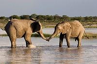 African elephant Loxodonta africana, bulls bicker together, Namibia, Etosha NP