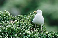 Herring Gull (Larus argentatus), adult among flowers, Hornoya Nature Reserve, Vardo, Finnmark, Norway, Europe