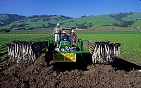 garden lettuce Lactuca sativa, farm workers move irrigation pipe in a lettuce field, USA, California, Watsonville