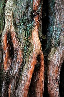 Dawn Redwood (Metasequoia glyptostroboides) in detail