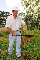 Organic farmer harvesting Manioc (Manihot esculenta), La Fortuna, Costa Rica, Central America