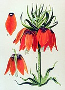 Historic illustration, Kaiser's Crown (Fritillaria imperialis), poisonous plant