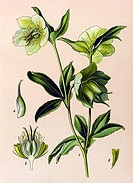 Historic illustration, Green Hellebore (Helleborus viridis), poisonous plant, medicinal plant