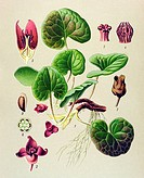 Historical illustration, Haselwort (Asarum europaeum), poisonous plant, medicinal plant