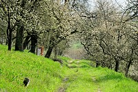 romantic path leading through meadows with flowering fruit trees, Germany, Baden_Wuerttemberg, Schwaebische Alb