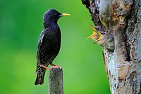 Male Sterling Sturnus vulgaris with fledglings