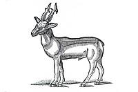 Woodcut, Roe Deer (Capreolus), Conrad Gesner, Historia Animalium, 1551, Renaissance