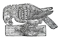 Woodcut, sea eagle Haliaeetus with prey, from: Conrad Gesner, Historia Animalum, 1551, Germany, Europe, from: Conrad Gesner, Historia Animalum, 1551, ...