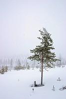 tree in fog, Finland