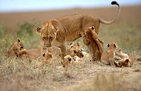 African lion Panthera leo, lioness with lion cubs, resting, Kenya, Masai Mara National Reserve, Nov.01.
